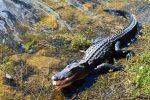 Aligator en Floride