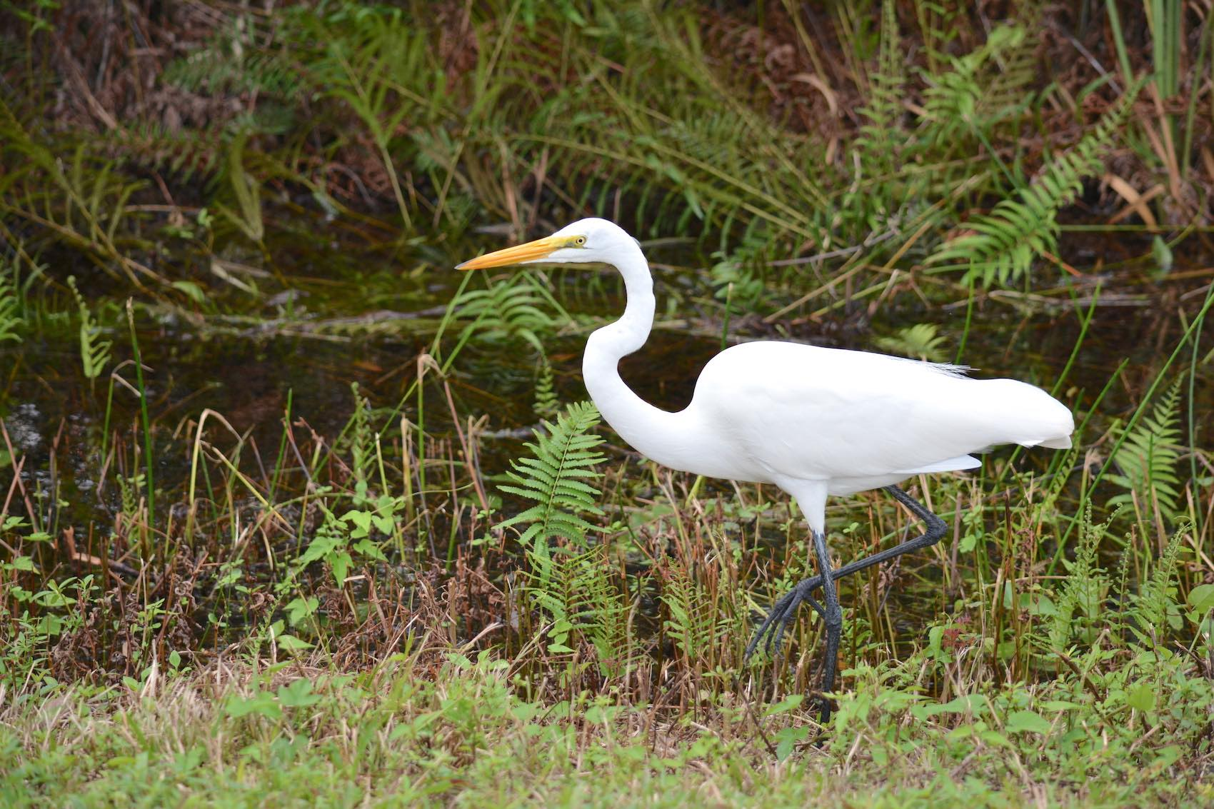 Aigrette Everglades