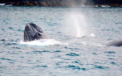 À la rencontre des baleines à bosse de Nouvelle-Calédonie