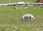Coyote au Yellowstone
