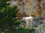 Goat Moutain au Yellowstone