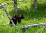 Ours noir au Yellowstone