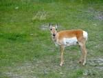 Antilope d'Amérique au Yellowstone