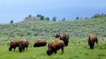 Bisons au Yellowstone