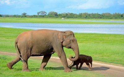 Sri Lanka #6 – Rencontre avec les éléphants sauvages du Minneriya National Park
